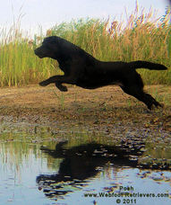 Labrador Retriever Trainer South Carolina Webfoot Retrievers